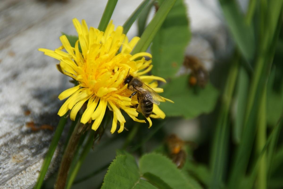 Včela na pampelišce